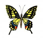 Aquarell Schmetterling Illustration