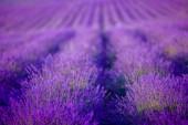 nádherné levandulové pole při západu slunce
