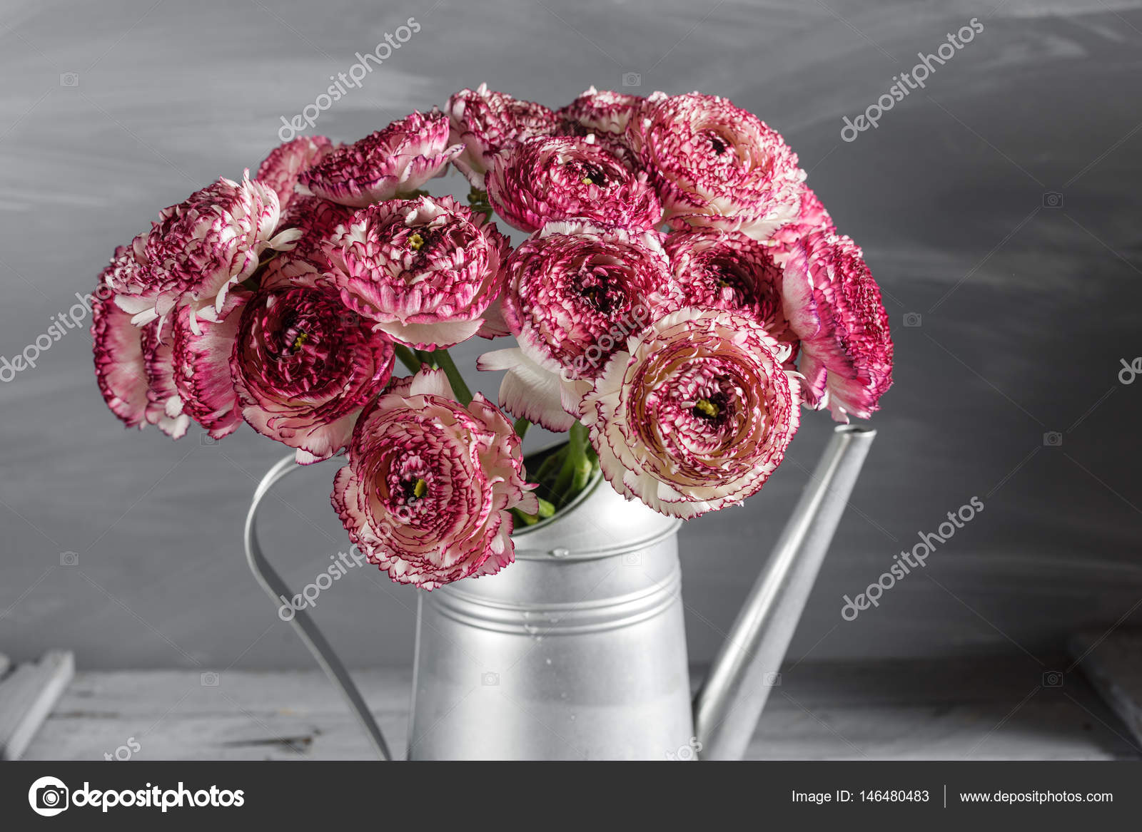 Maroon and white persian buttercup flowers. Curly peony ranunculus ...