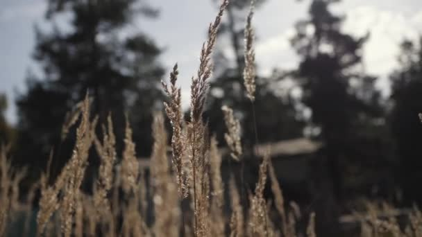 Grass spike swaying in wind on green background. Grass stem in morning light. Dry grass on green background. Furry spike grass
