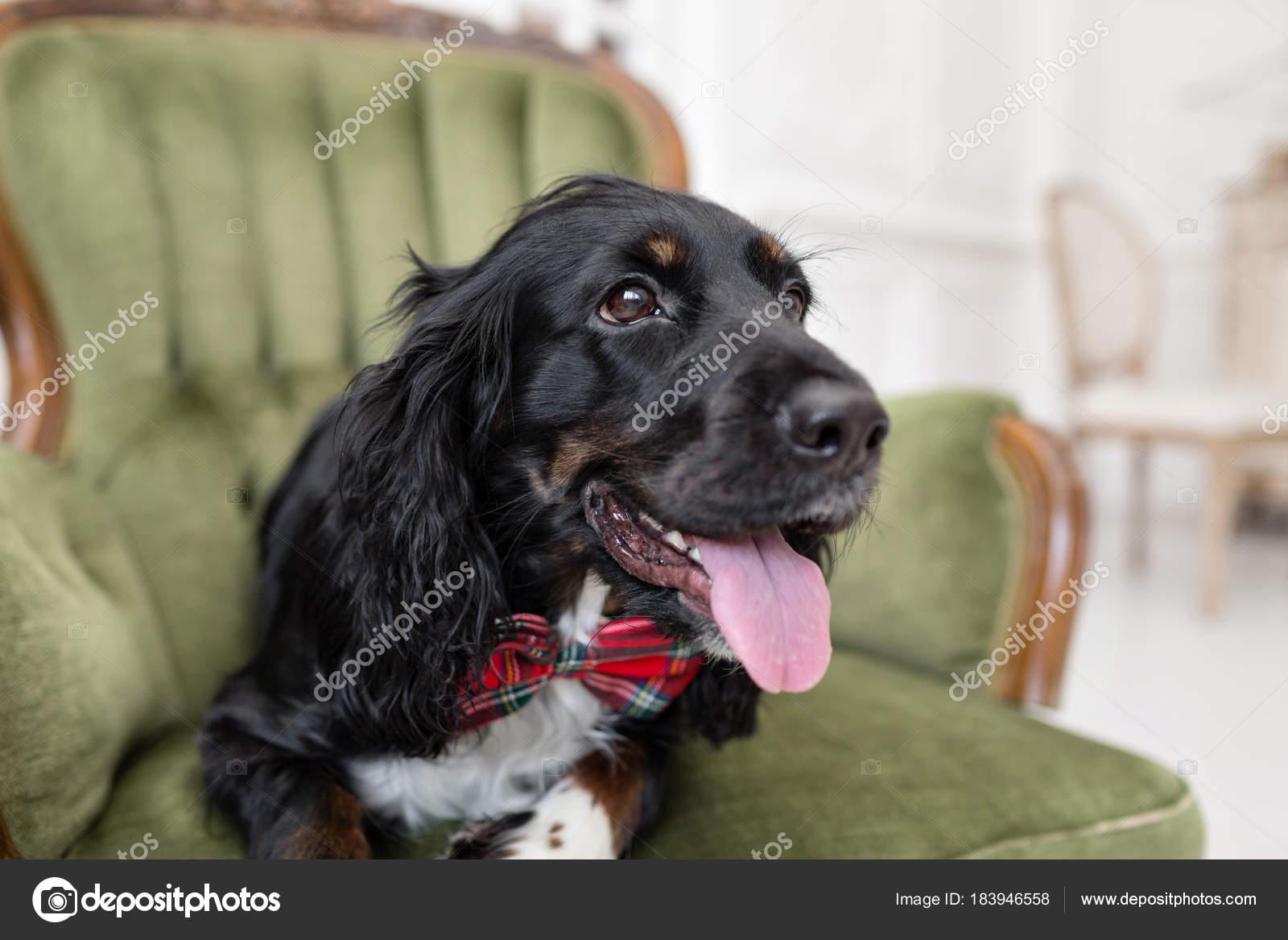 Schwarzer Hund Spaniel In Eine Rote Fliege Im Inneren Der Lichtraum