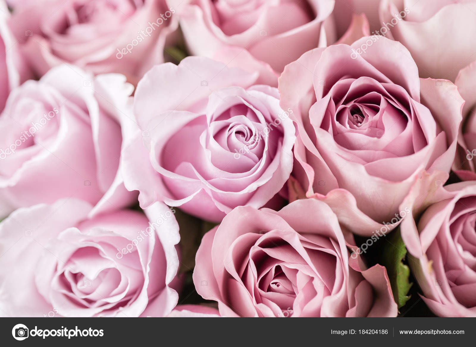 Flores Lilas Con Rosas Sobre Fondo: Fondo: Fondos De Pantalla Rosas Rosa