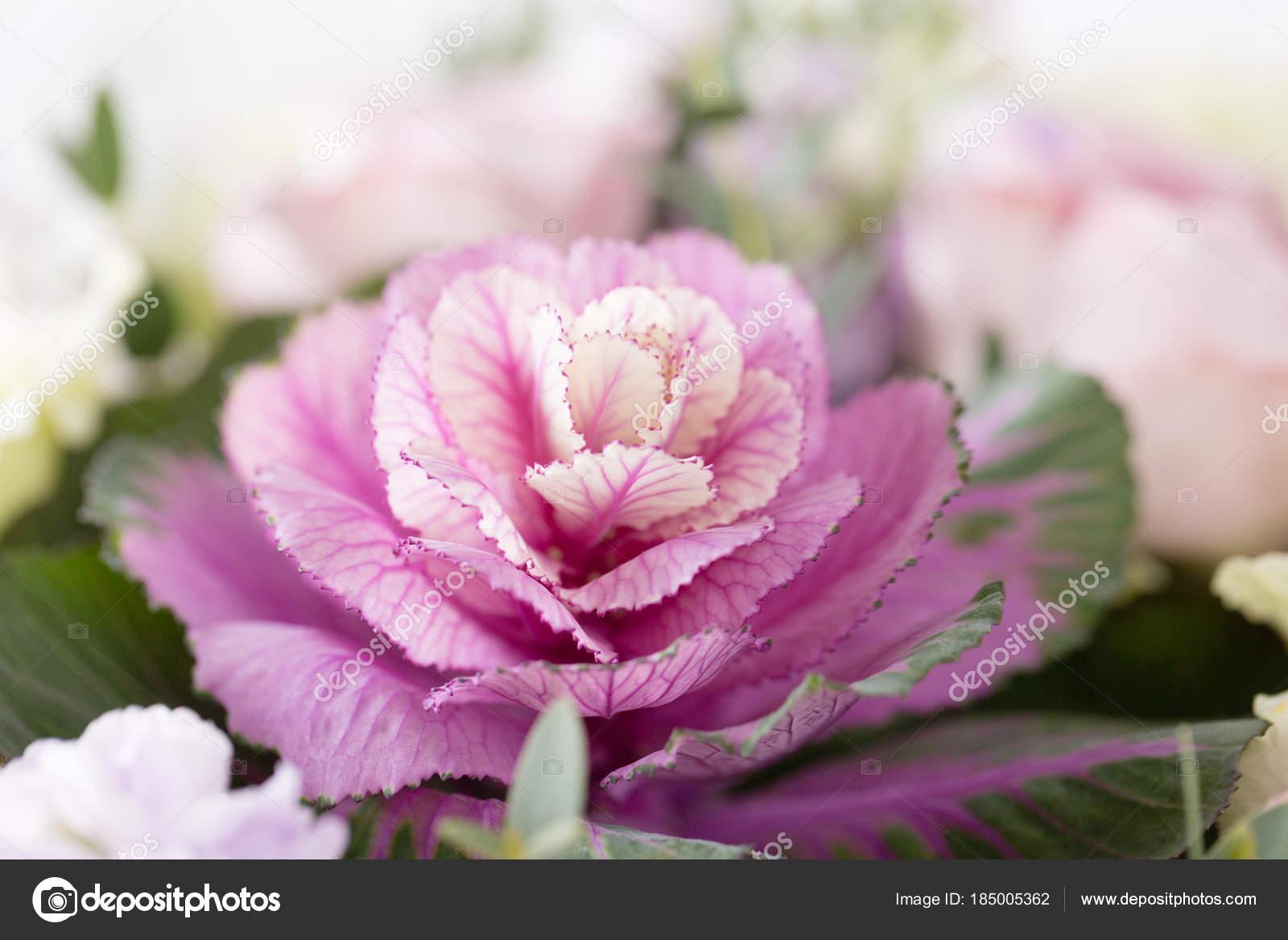 chou mauve décoratif. fleur de drôle insolite de brassica oleracea