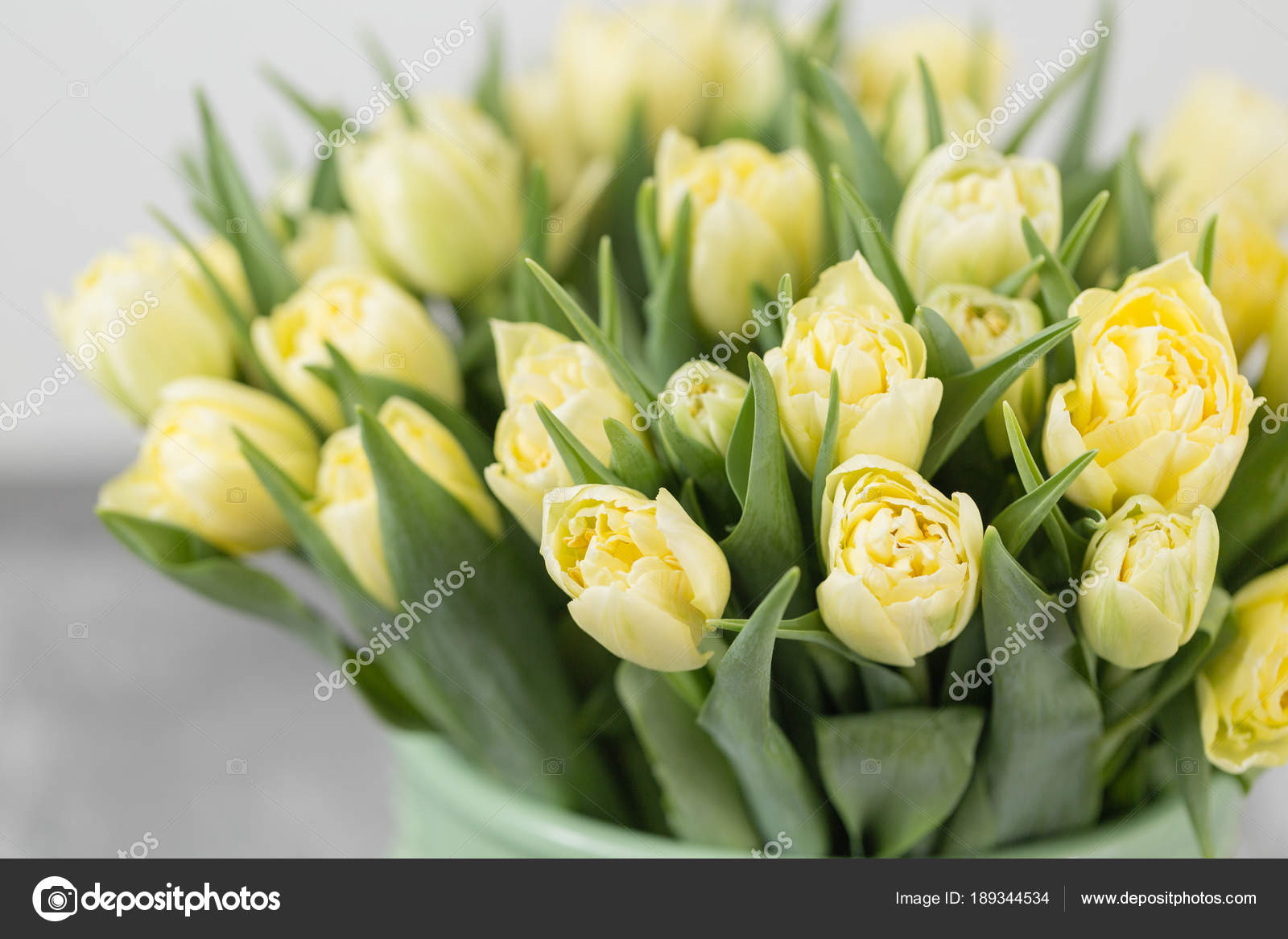 Tulips Of Pastel Yellow Color Big Buds Of Multicoloured Tulips