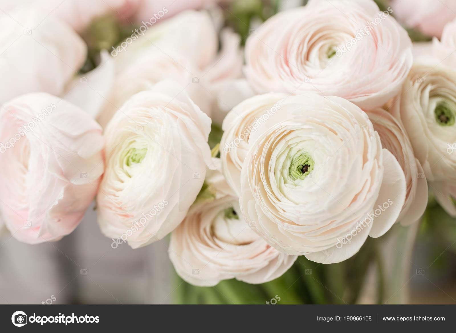 Carta Da Parati Fiori Rosa : Ranuncolo persiano. mazzo del ranuncolo rosa pallido fiori sfondo