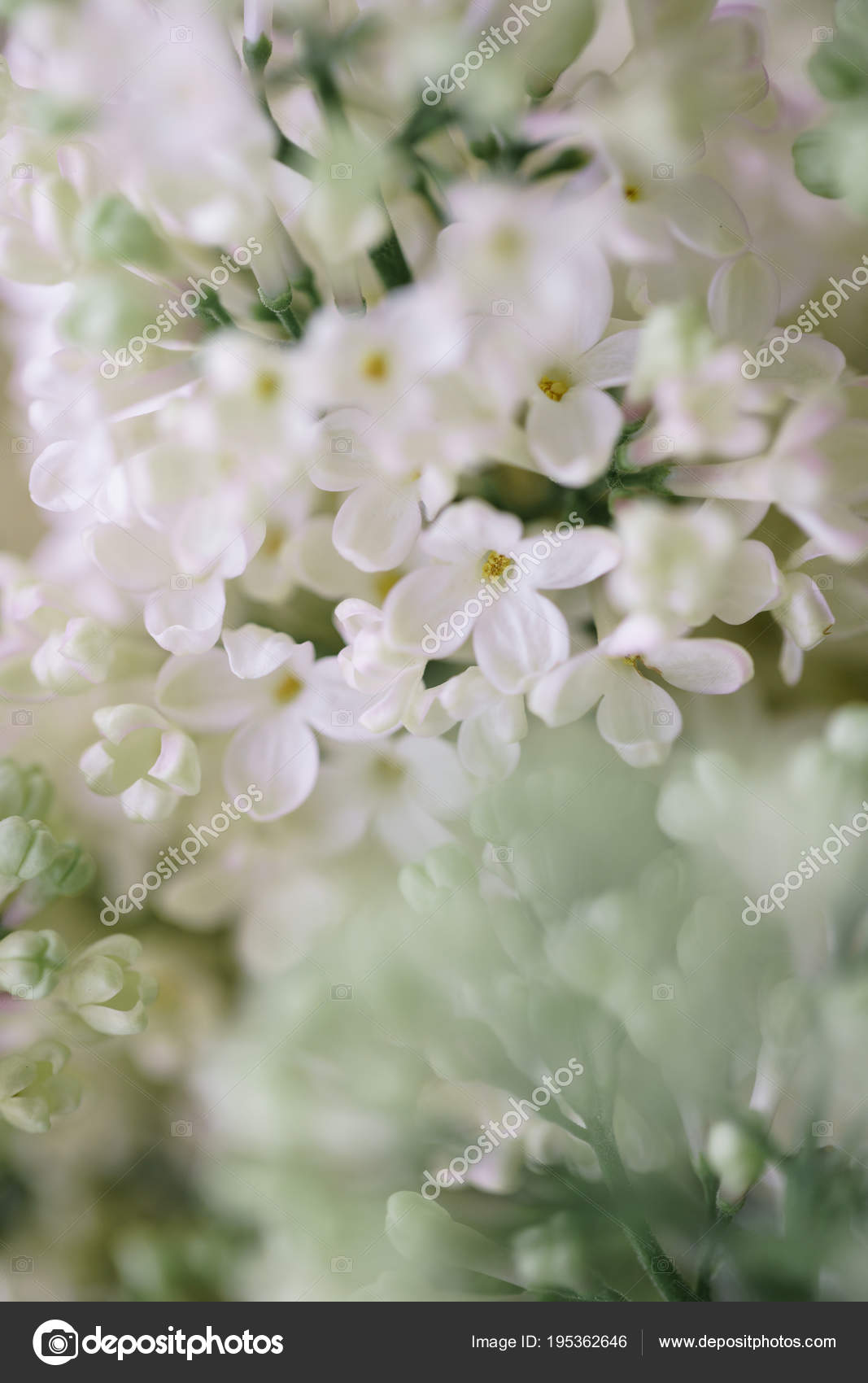 Close Up White Lilac In Glass Vase On Wooden Table Lots Of Buds