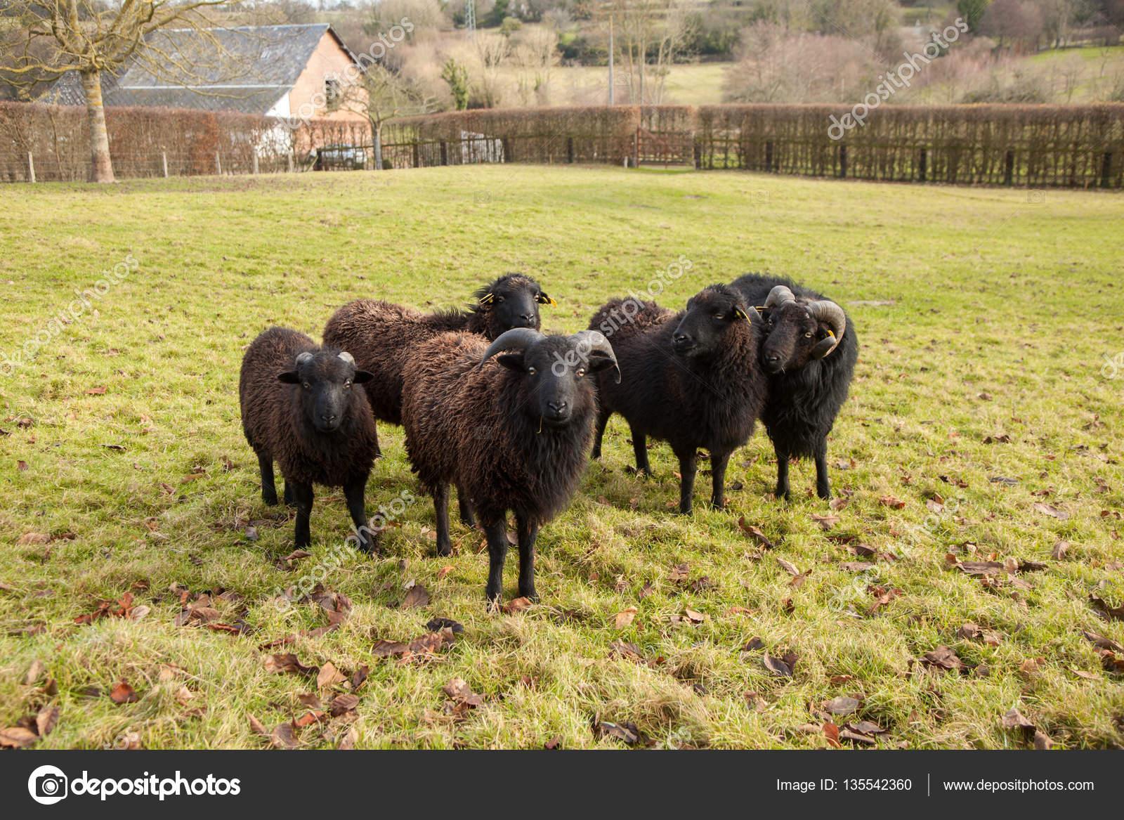 el carnero negro