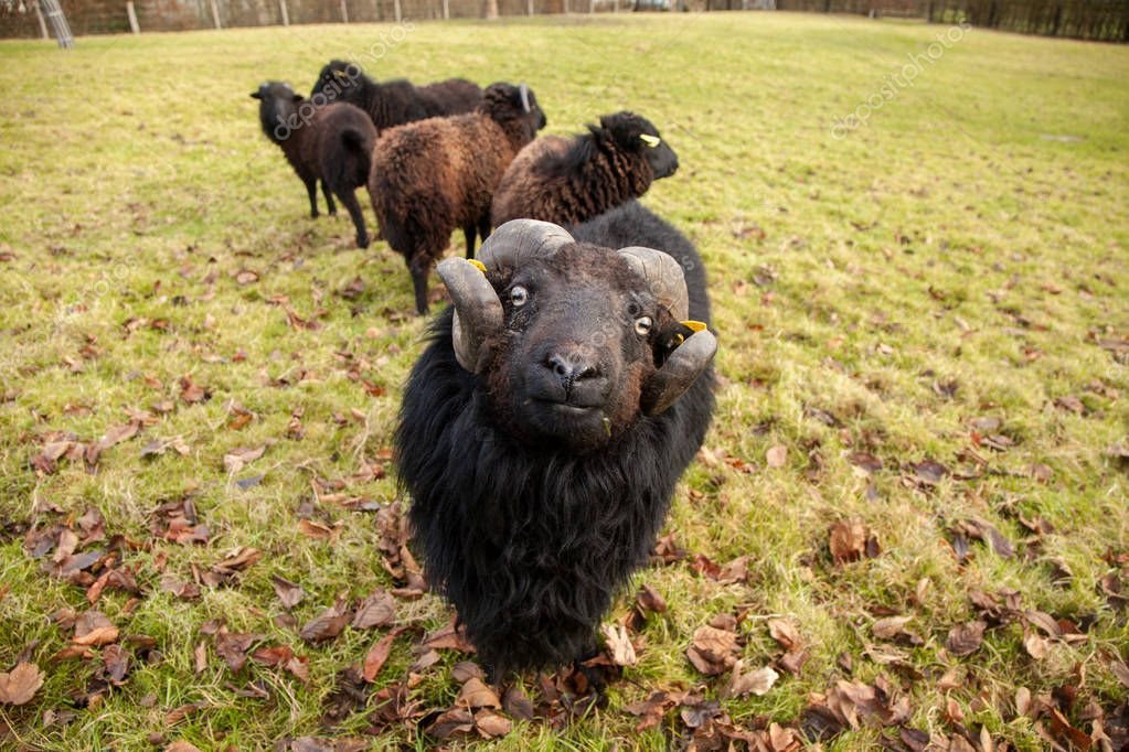 A black ram, and herd of sheep