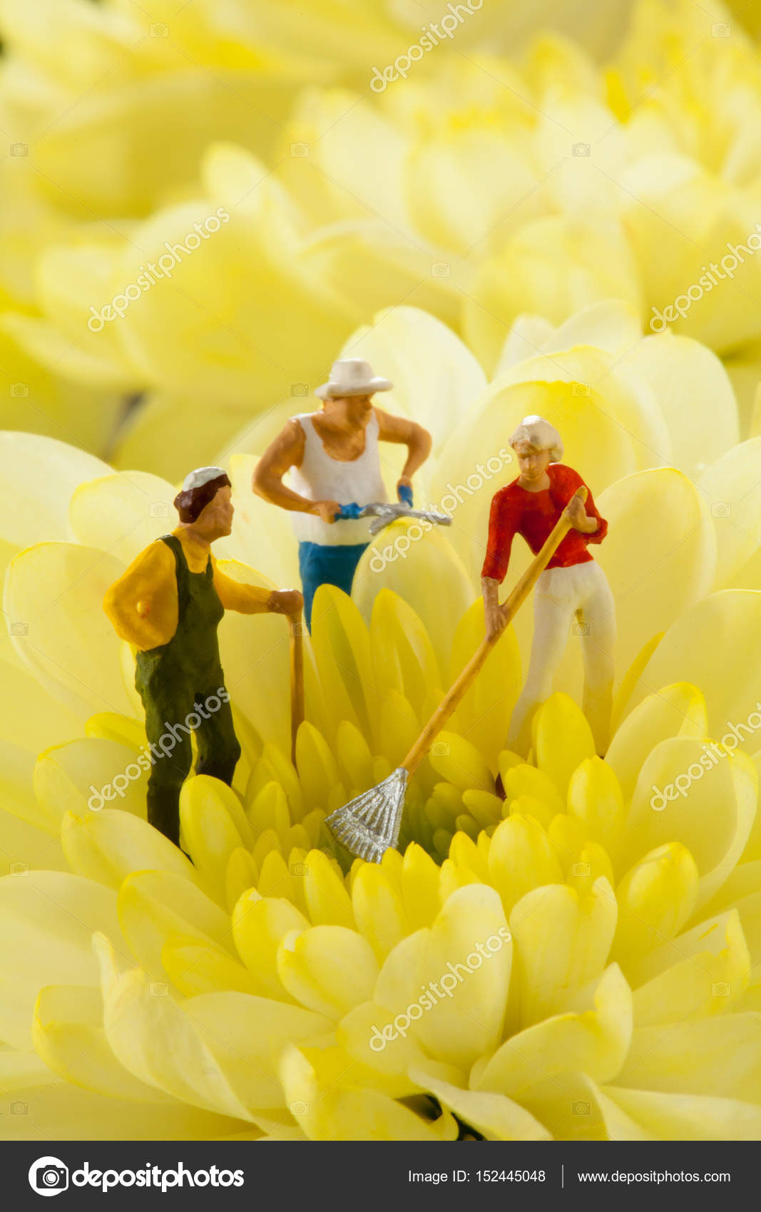 People Are Gardening In A Field Of Yellow Flowers Stock Photo