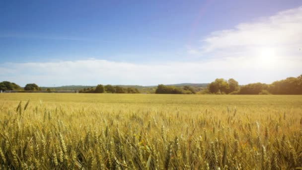 Fields of wheat in the French countryside