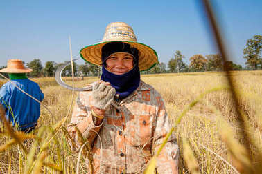KHON KAEN, THAILAND - NOVEMBER 22, 2007: A woman farmer harvesting rice by hand, in a rice field in northeastern thailand, during the harvest season stock vector