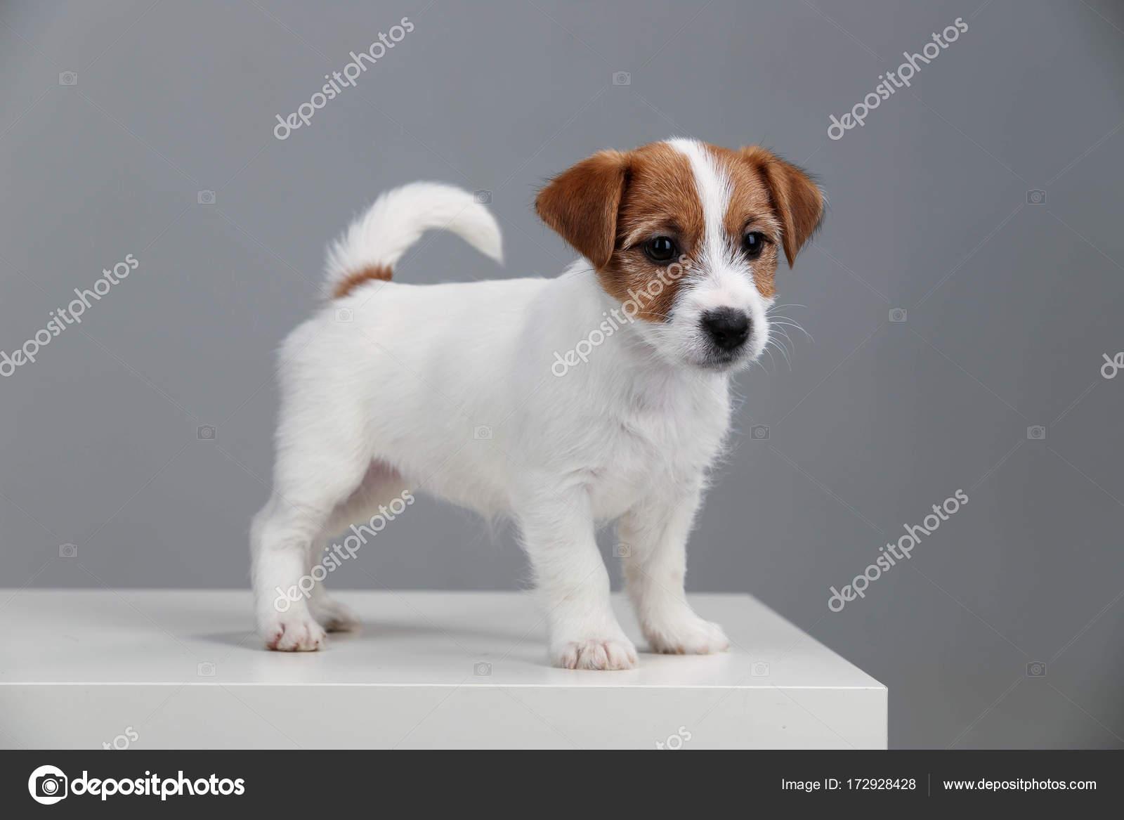 Jack Russell Terrier Baby Close Up Gray Background Stock Photo C Kazanovskyiphoto Gmail Com 172928428