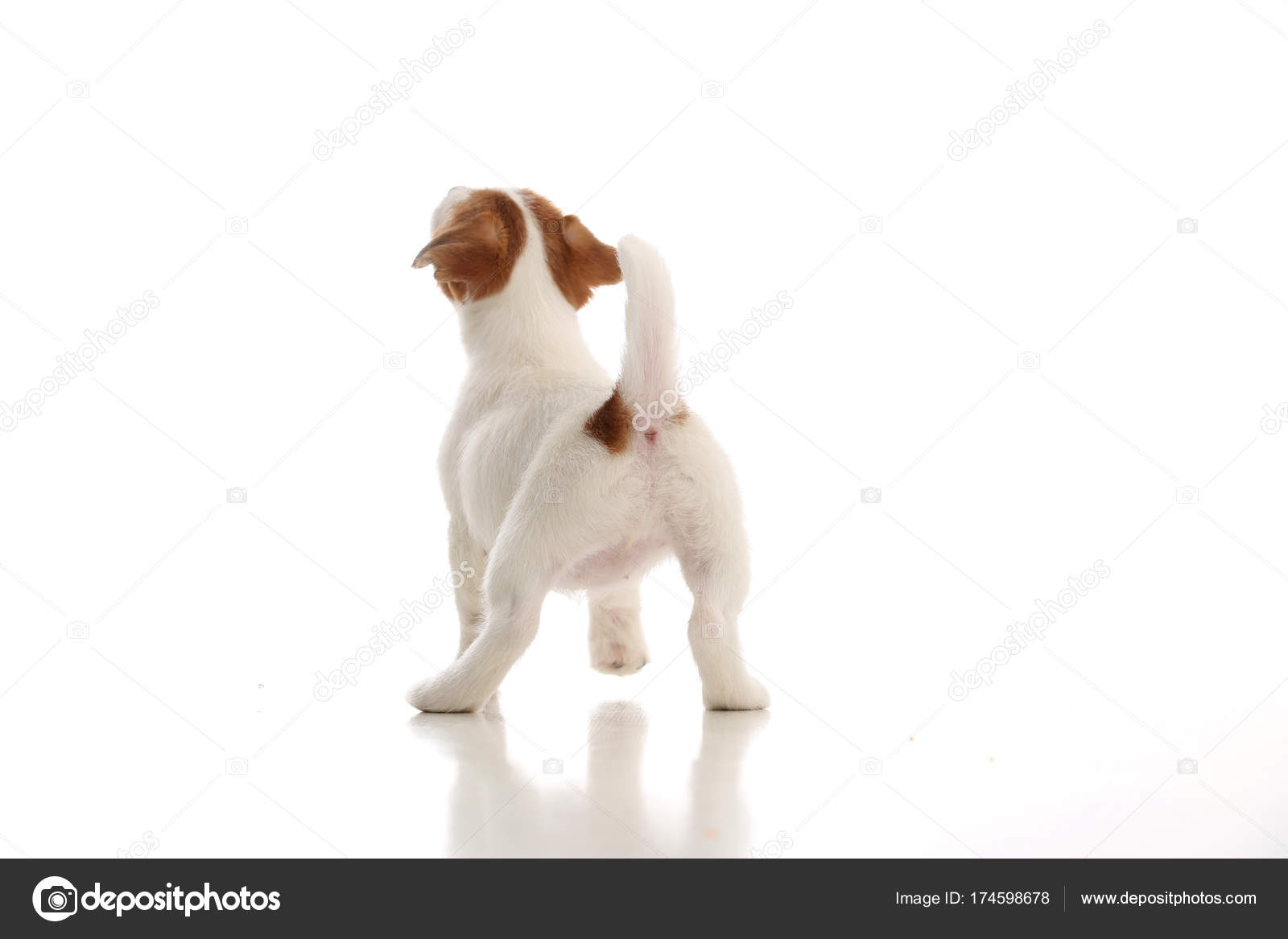 Jack russell terrier standing back  White background — Stock