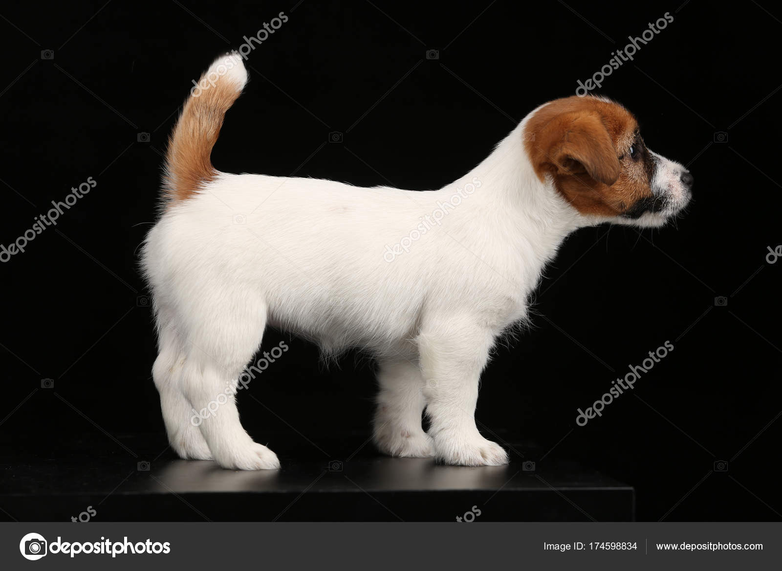 Cute Baby Dog In Profile Black Background Stock Photo