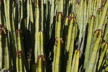 Cactus in Canaries