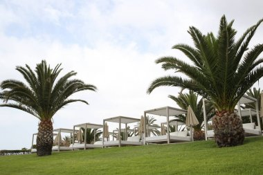 Sago palms in Canary Islands
