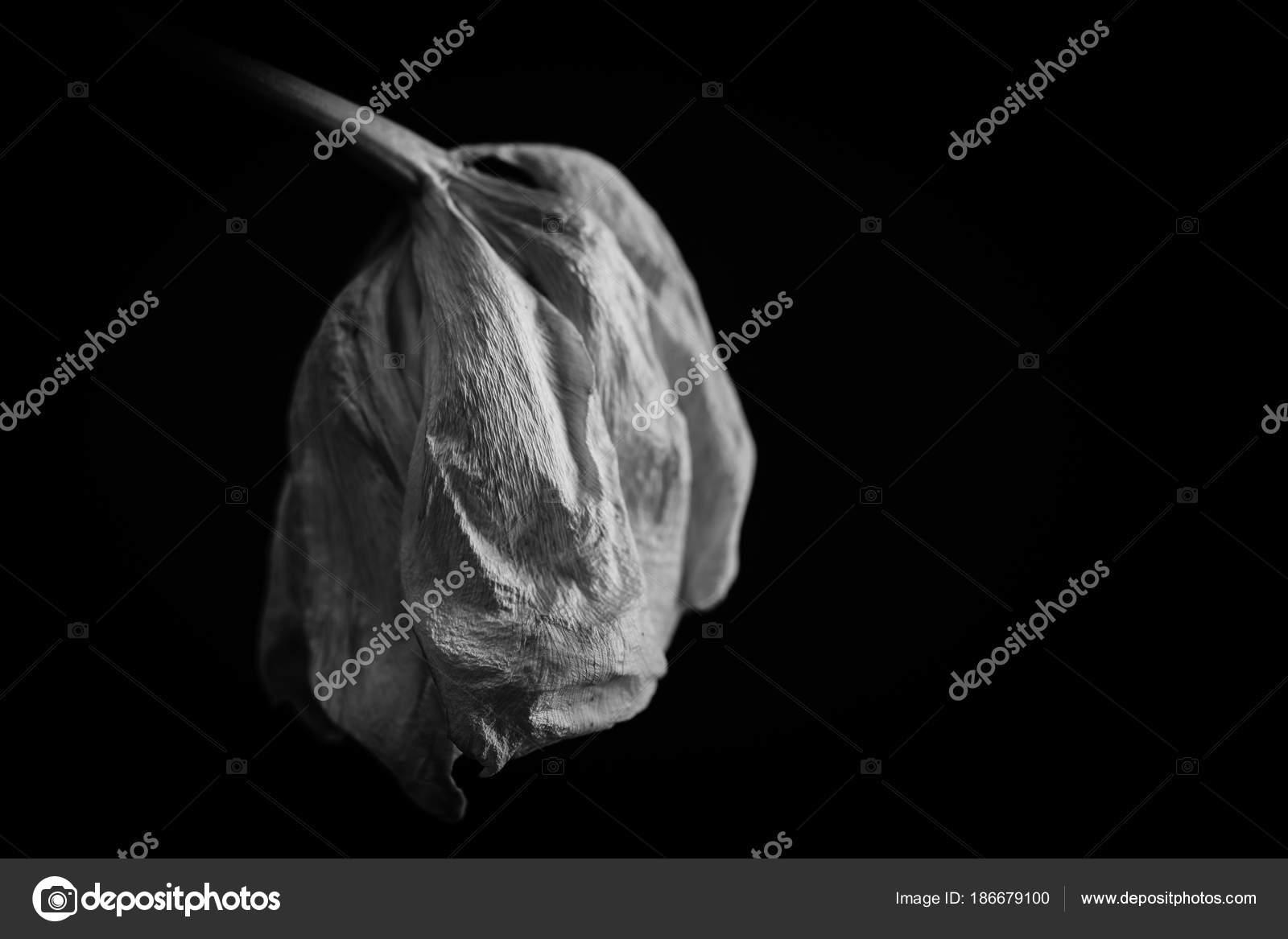 Tulipe Fanee Dans L Obscurite Noir Et Blanc Photographie