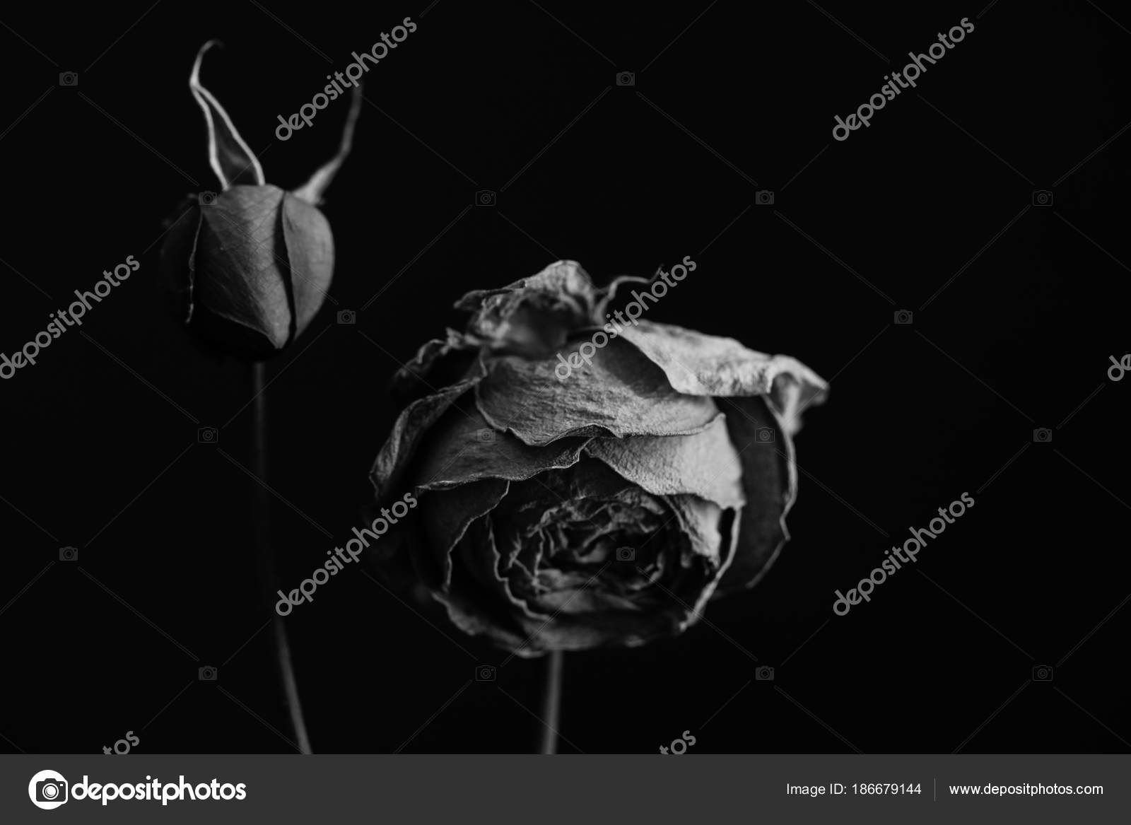 The Most Famous Flowers Artwork Smokey Roses And Tulips In Dark Balck White Close Up Black Background Photo By