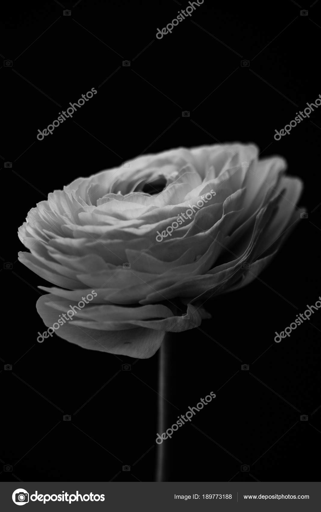 Flower In Black And White Stock Photo Kazanovskyiphotoail