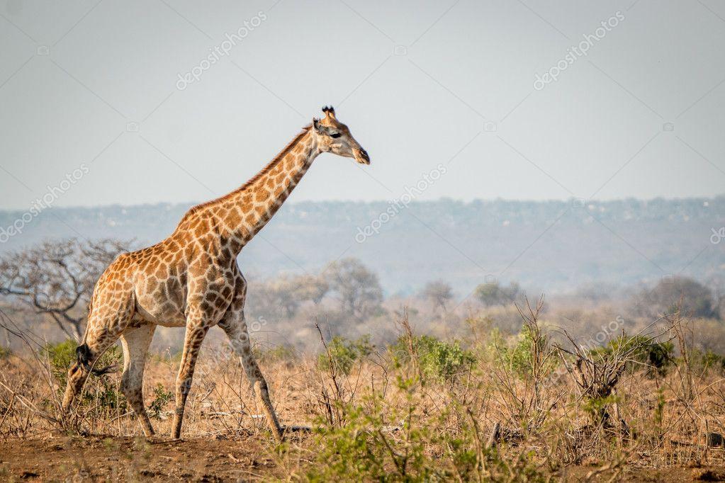 キリンの茂みの中を歩く ストック写真 C Simoneemanphotography