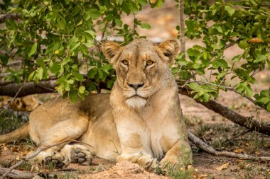 Starring Lioness laying in the grass.