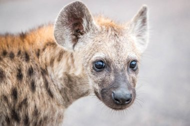 Baby Spotted hyena.