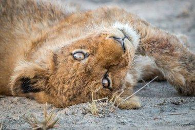 Playful Lion cub.