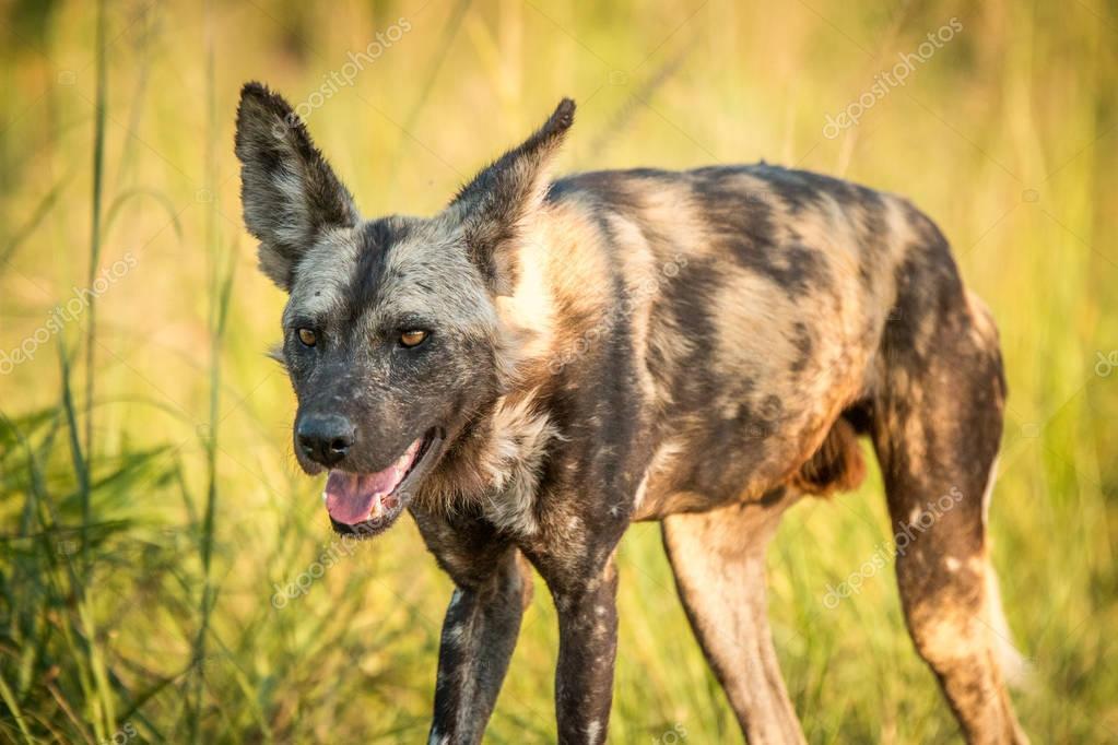 Starring African wild dog in the Kruger National Park, South Afr