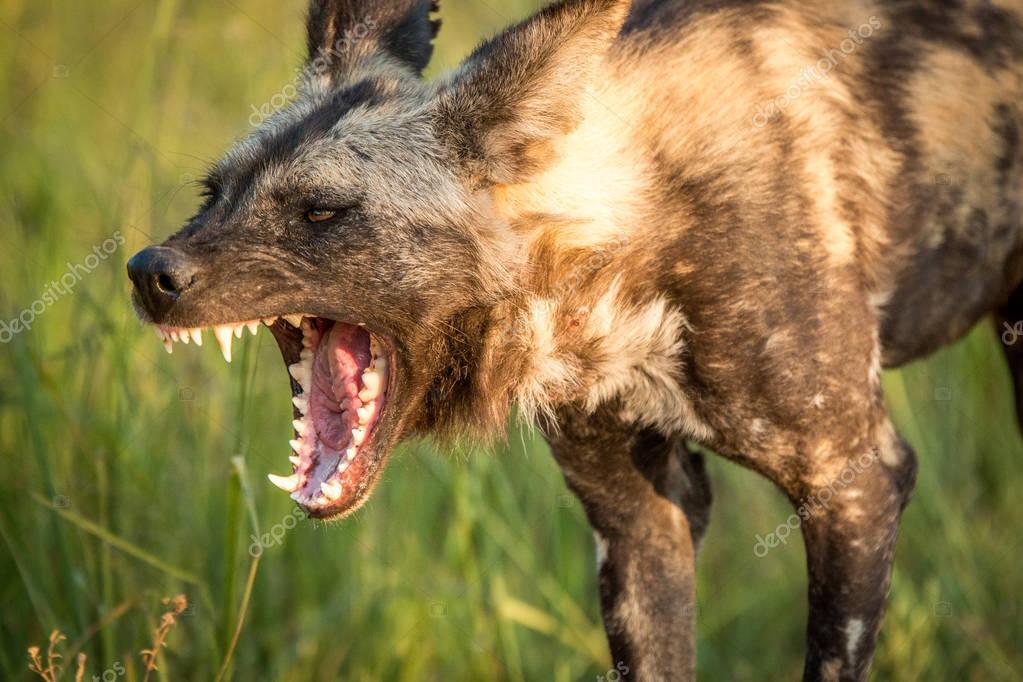 Yawning African wild dog in the Kruger National Park, South Afri