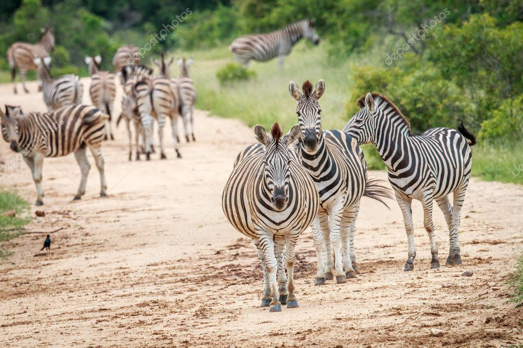 Zebras starring at the camera.