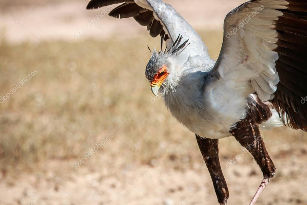 Flying Secretary bird.