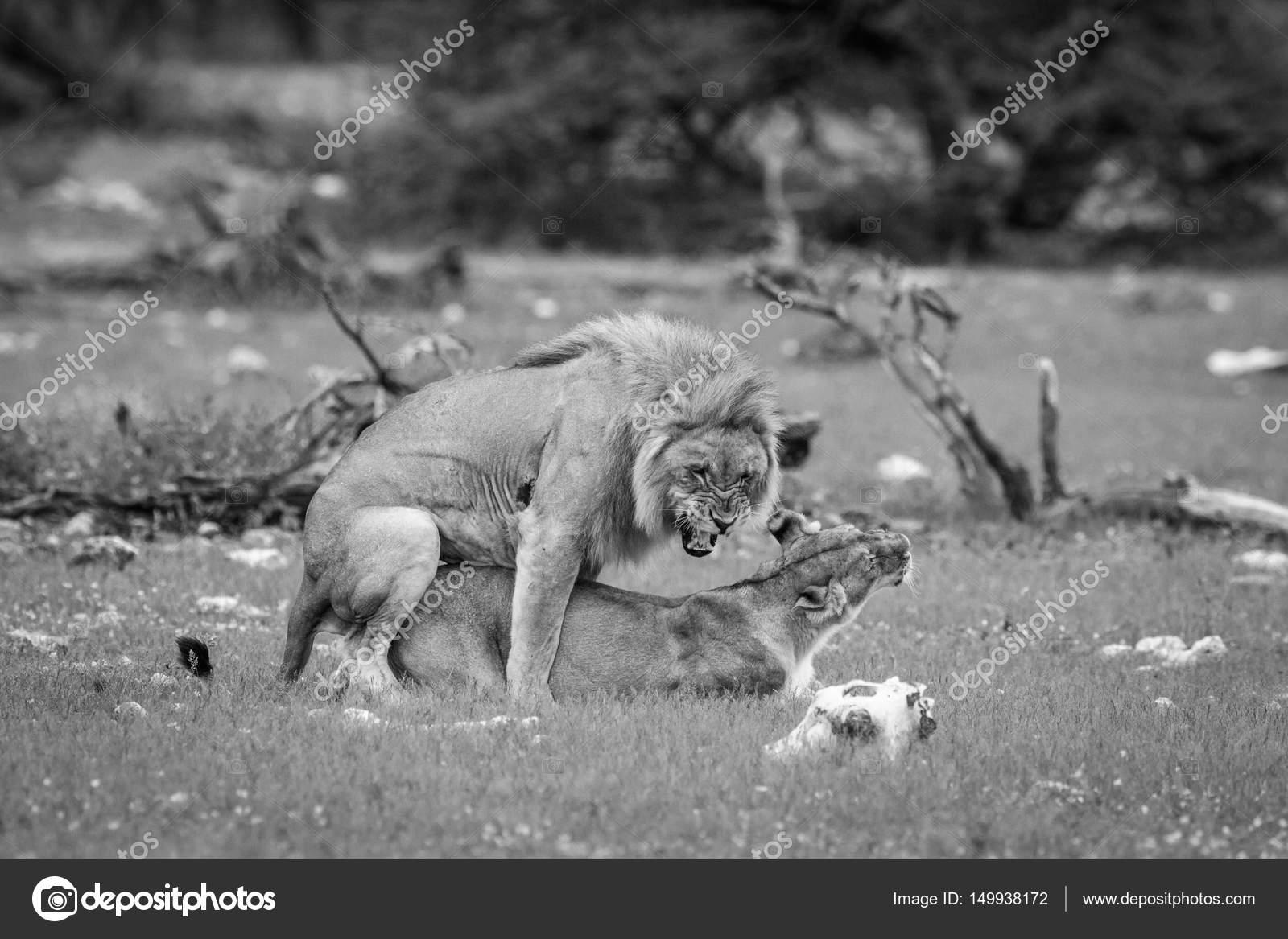 Apareamiento de la pareja de leones en blanco y negro - Fotos de parejas en blanco y negro ...
