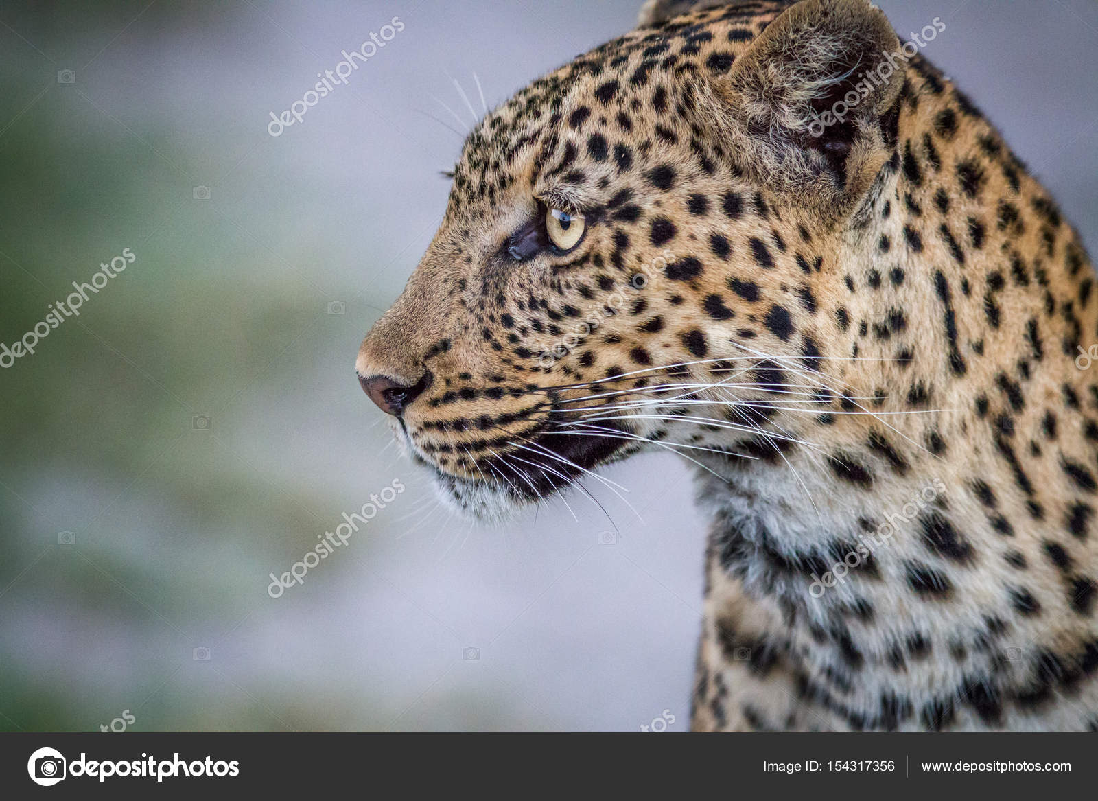 Side Profile Of A Leopard In Chobe Stock Photo