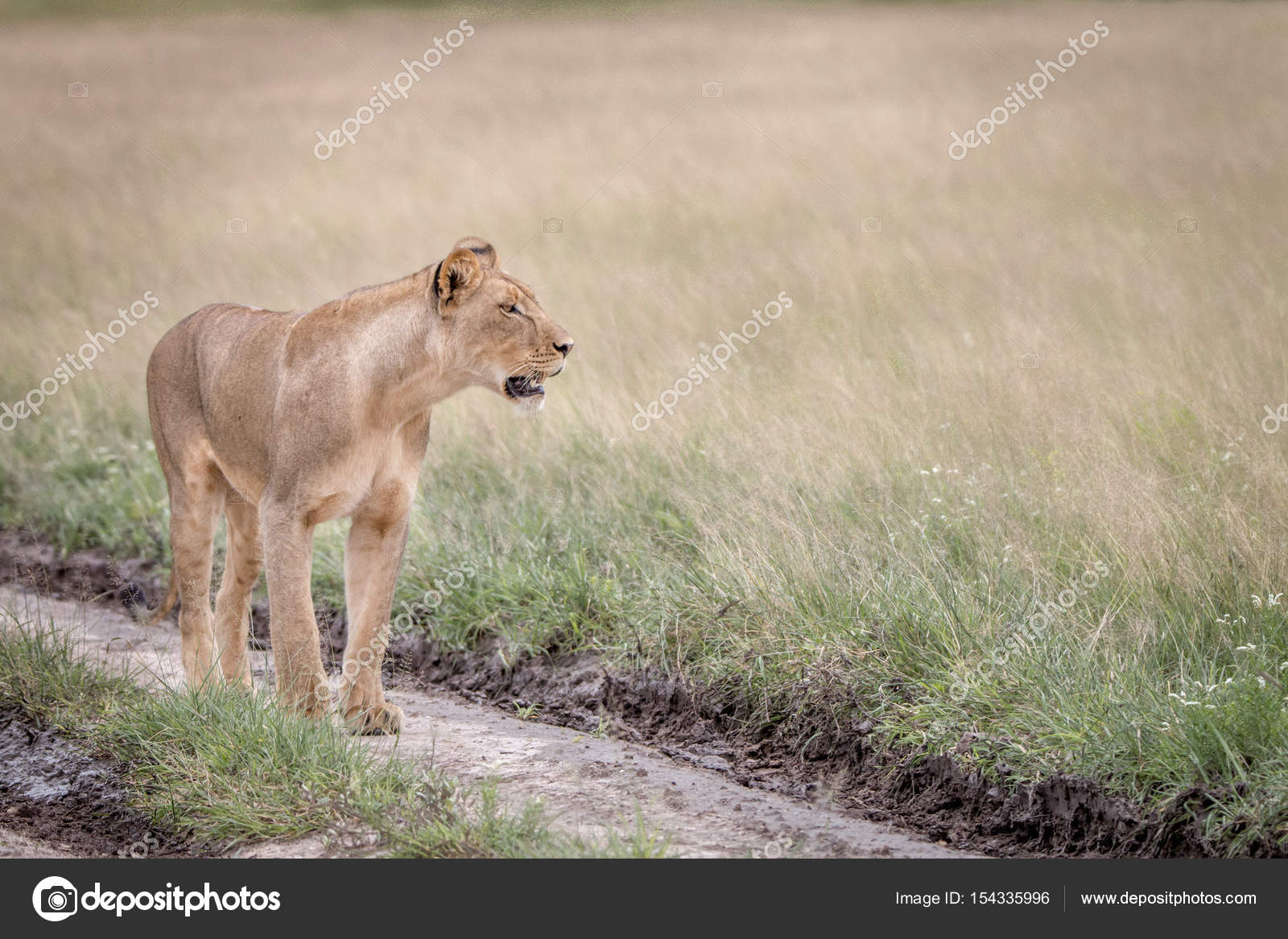 lion walking in the sand in the kalahari stock photo