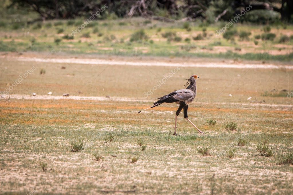 Secretary bird walking in the grass.