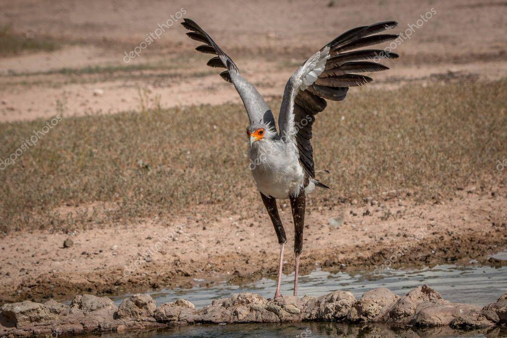 Secretary bird spreading his wings.