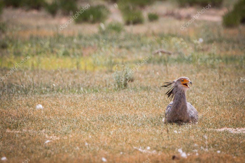 Secretary bird sitting in the grass.