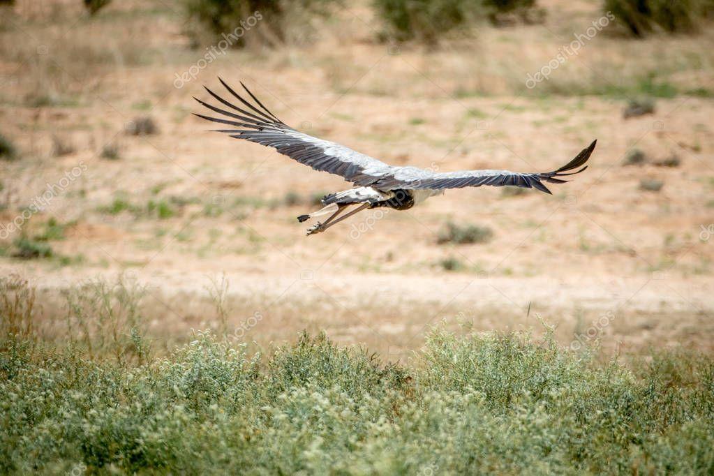 Secretary bird flying away in Kalagadi.