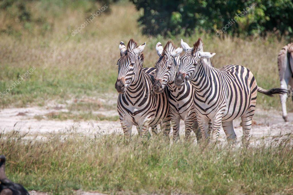 Three Zebras bonding in the grass.