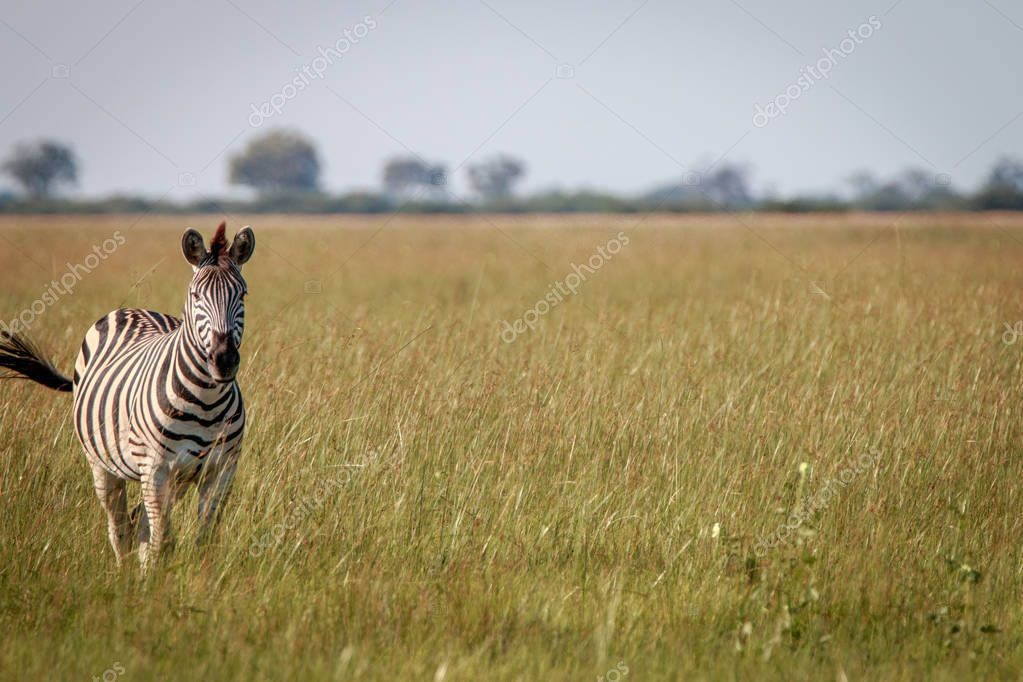 A portrait of a Zebra standing in the grass.