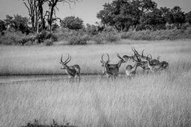 Group of Lechwes standing in the long grass.