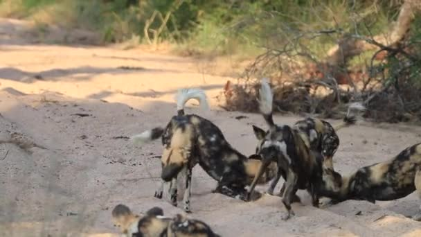 African wild dogs playing in the sand.
