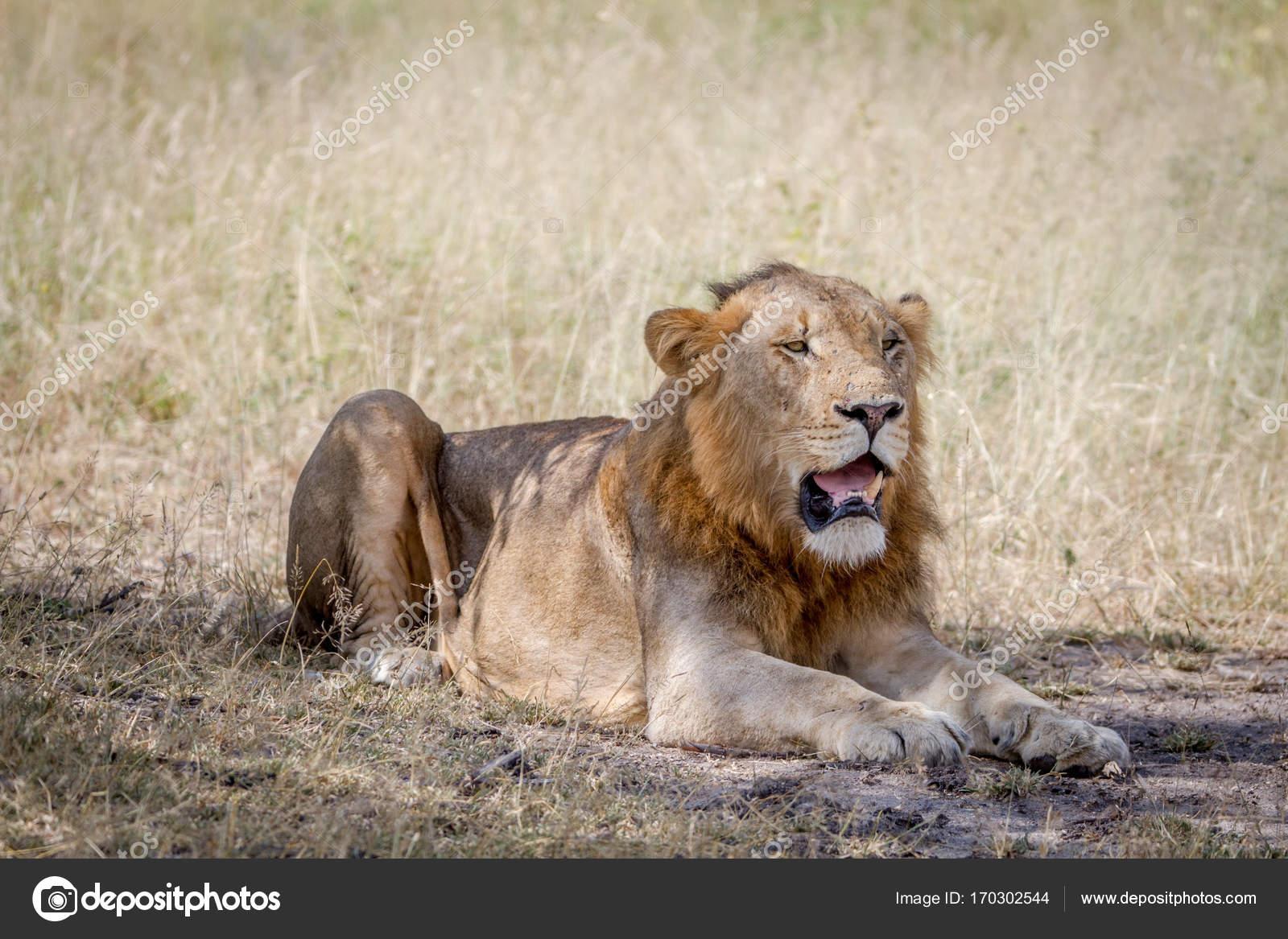 Male Lion Lying Down