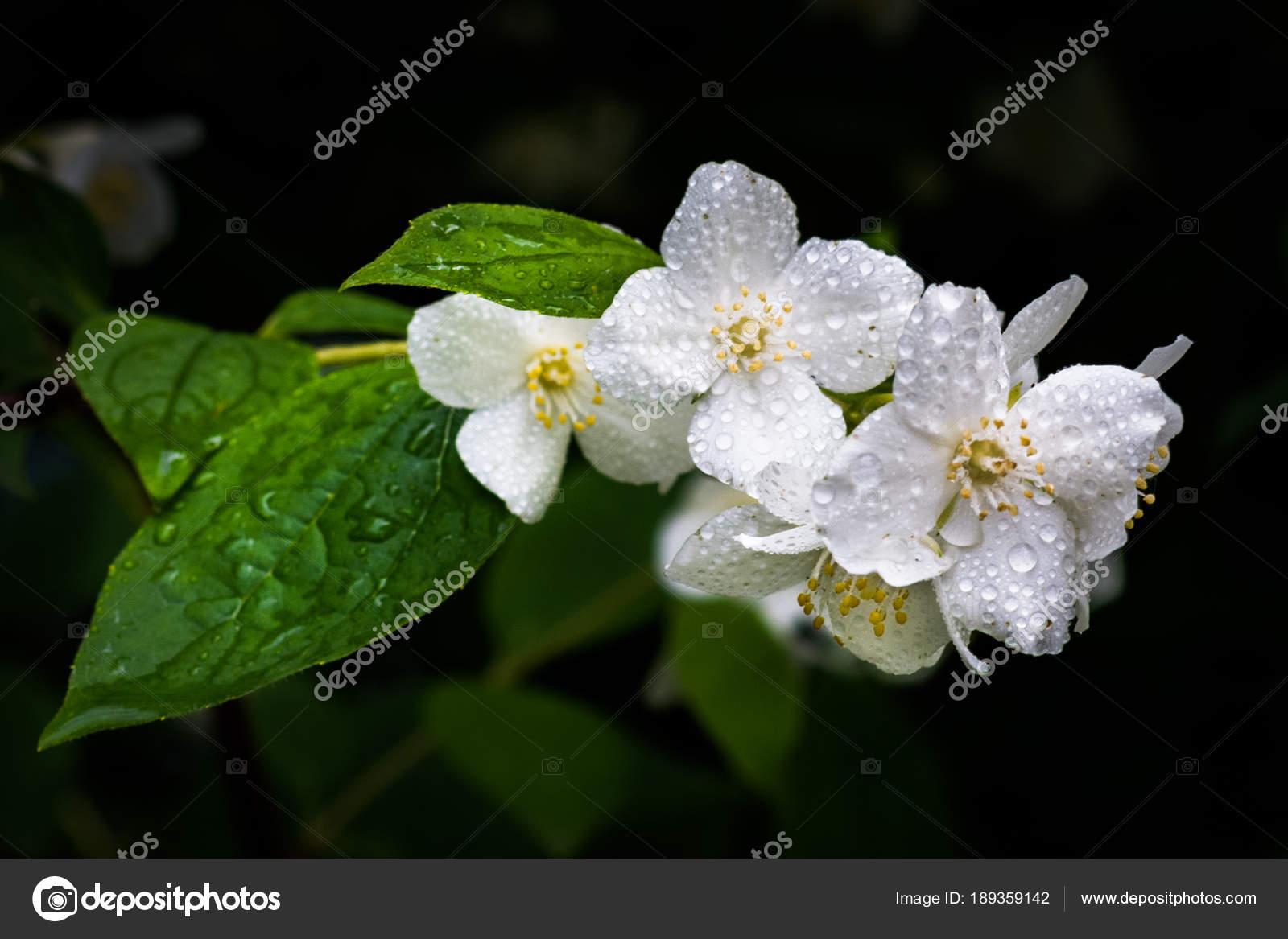 White Jasmine Rain Dark Background Stock Photo