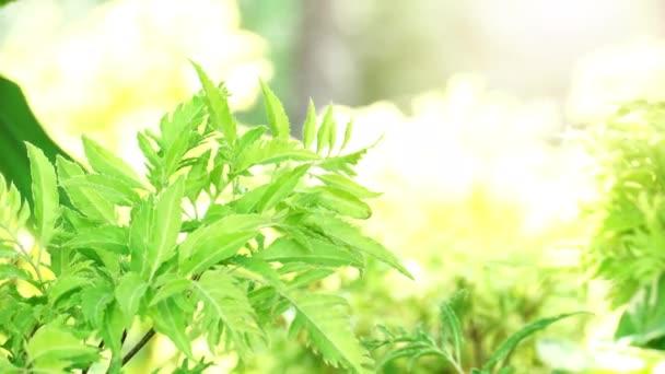 Természet háttér elmosódott Polyscias fruticosa fa alatt ragyogó fény.Spray víz hátulról a kertben.