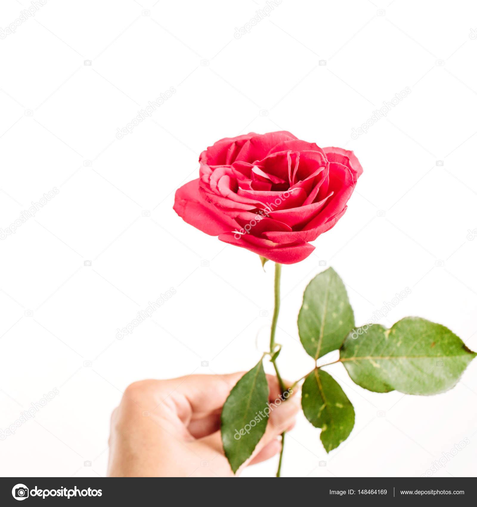 Beautiful Red Rose Flower Stock Photo Maximleshkovich 148464169