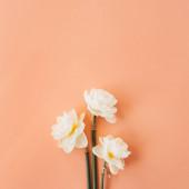 Nárcisz virágok csokor korall barack háttér. Lapos fektetés, felülnézet virágkompozíció.