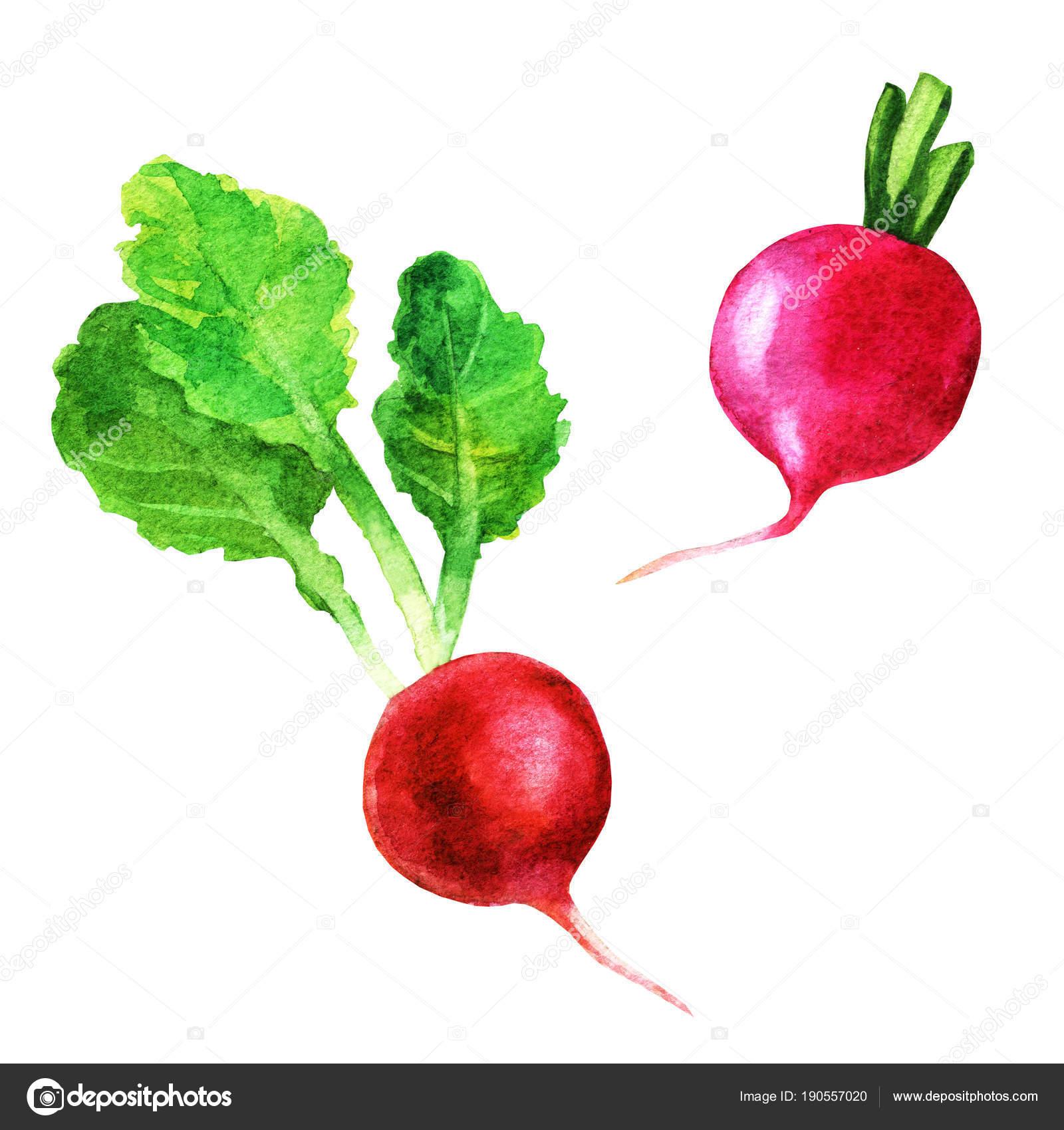 Decoration Legumes Radis : Définir les radis frais légumes peint à l aquarelle sur