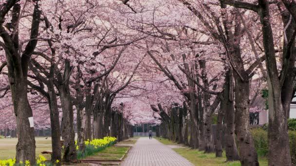 Cherry blossom avenue at Takarano park at dawn in Tokyo