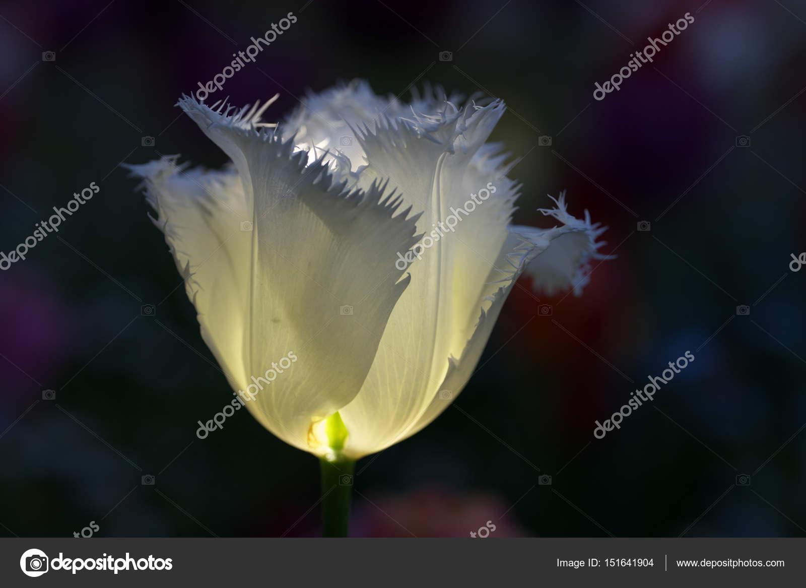 Tulip On Black Background Stock Photo C Khunta 151641904